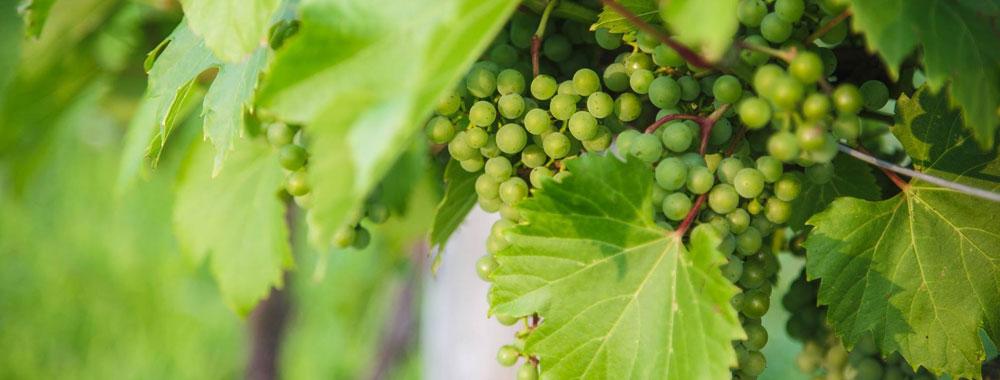 domaine-vins-gelinas