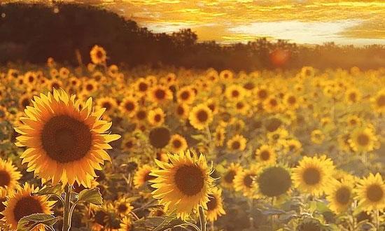 Coucher de soleil sur les tournesols de Passion Lavande