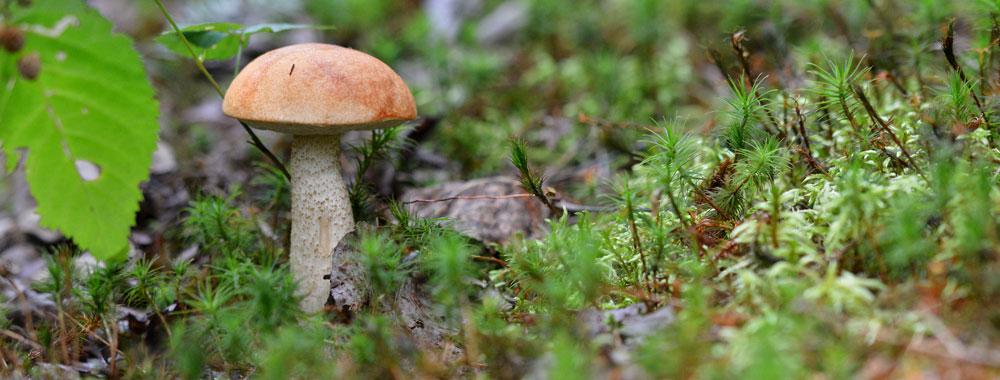 champignon-comestible-baluchon